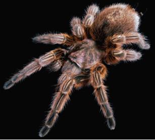 gsmtx4-spider